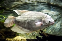 Giant gourami fish in aquarium. Giant gourami - Kolobrzeg aquarium tank Stock Photography