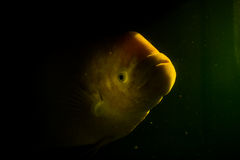 Giant gourami with the mystery concept Stock Photography