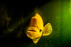 Giant gourami with the mystery concept Royalty Free Stock Image