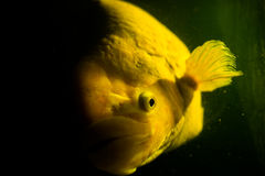 Giant gourami with the mystery concept Royalty Free Stock Photography