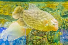 Giant gourami (Osphronemus goramy)fish, a species of large goura. Mi native to Southeast Asia. It lives in fresh or brackish water, particularly slow-moving Stock Images