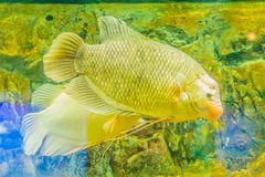 Giant gourami (Osphronemus goramy)fish, a species of large goura. Mi native to Southeast Asia. It lives in fresh or brackish water, particularly slow-moving Stock Photography