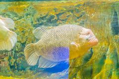 Giant gourami (Osphronemus goramy)fish, a species of large goura. Mi native to Southeast Asia. It lives in fresh or brackish water, particularly slow-moving Royalty Free Stock Photo