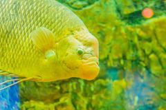 Giant gourami (Osphronemus goramy)fish, a species of large goura. Mi native to Southeast Asia. It lives in fresh or brackish water, particularly slow-moving Stock Photo