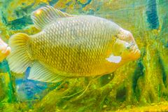 Giant gourami (Osphronemus goramy)fish, a species of large goura. Mi native to Southeast Asia. It lives in fresh or brackish water, particularly slow-moving Stock Image