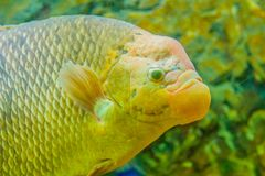Giant gourami (Osphronemus goramy)fish, a species of large goura. Mi native to Southeast Asia. It lives in fresh or brackish water, particularly slow-moving Royalty Free Stock Image