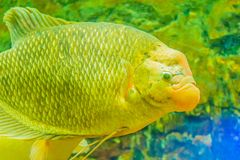 Giant gourami (Osphronemus goramy)fish, a species of large goura. Mi native to Southeast Asia. It lives in fresh or brackish water, particularly slow-moving Stock Photos