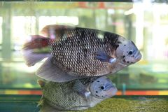 Giant gourami. The giant gourami, Osphronemus goramy, is a species of gourami believed to be originally native to Southeast Asia, with its occurrence in other Royalty Free Stock Photos