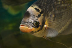 Giant gourami Royalty Free Stock Images