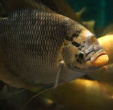 Giant gourami Royalty Free Stock Photography