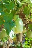 Giant gourd Stock Photo