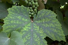 Giant Grape Leaf 02. Two color, giant green and lime grape leaf with grapes in background royalty free stock photo