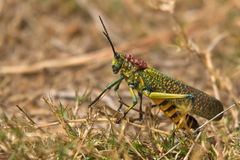 Giant grass hopper. In Madagascar Royalty Free Stock Photo