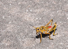 Giant Grasshopper Stock Photo