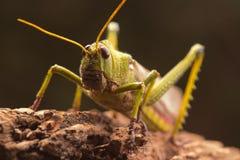 Free Giant Grasshopper Royalty Free Stock Image - 59237586