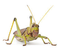 Free Giant Grasshopper, Tropidacris Collaris Royalty Free Stock Images - 18990669