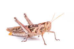 Giant Grasshopper Stock Photography