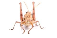 Giant Grasshopper Royalty Free Stock Photos