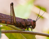 Giant grasshopper Royalty Free Stock Photography