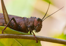 Giant grasshopper Stock Image