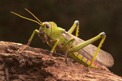 Giant Grasshopper Royalty Free Stock Images