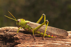 Giant Grasshopper Royalty Free Stock Image