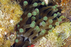 Giant green anemone, utila, honduras Stock Images