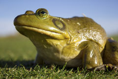 Giant green Frog Royalty Free Stock Images