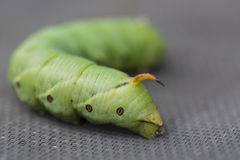 The giant green horned caterpillar close up.  Royalty Free Stock Images