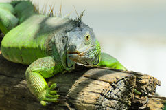 Giant green iguana. Iguana is a genus of herbivorous lizards native to tropical areas of Mexico, Central America, and the Caribbean. iguana, which is native to Stock Photos