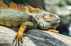 Giant green iguana Royalty Free Stock Photography