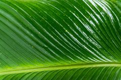 Giant Green Leaf. A giant green leaf found in a rain forest royalty free stock photography