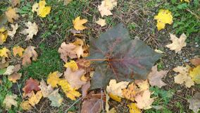 Giant green leaf surrounded by colorful leaves. In my yard on a warm fall day in western Indiana taken October 2018 stock photos