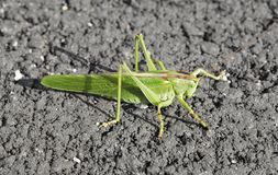 Giant Green Locust Royalty Free Stock Images