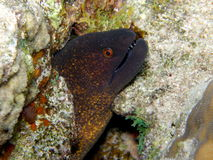 Giant Green Moray eel Red Sea Royalty Free Stock Photography