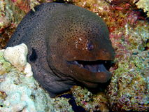 Giant Green Moray eel Red Sea Stock Photo