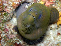 Giant Green Moray Fiji Royalty Free Stock Photography