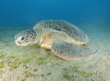 Giant green sea turtle Stock Photo