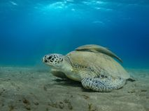 Giant Sea turtle close-up Red Sea Egypt Stock Photo