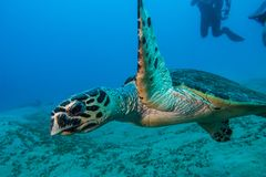 Giant Green Sea Turtles in the Red Sea, eilat israel a.e. Amazing Giant Green Sea Turtles in the Red Sea, eilat israel - a.e royalty free stock image