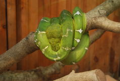 Giant green snake coiled up on tree Stock Photography