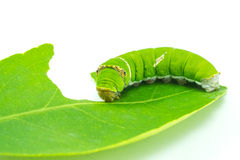 Giant green worm Royalty Free Stock Photography