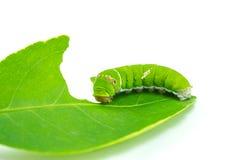 Giant green worm Stock Photos