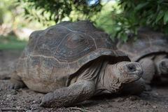 Giant grey tortoise Royalty Free Stock Photography