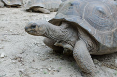 Giant grey tortoise Stock Photos