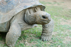 Giant grey tortoise Stock Photography
