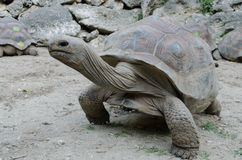 Giant grey tortoise Stock Photo