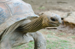 Giant grey tortoise Royalty Free Stock Image