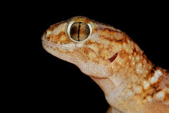 Giant ground gecko Stock Images