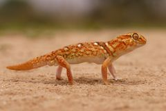 Giant ground gecko. (Chondrodactylus angulifer) in desert environment, South Africa royalty free stock photo